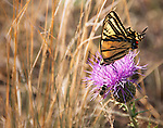 swallowtail butterfly on thistle in the Rocky Mountain foothills near Estes Park, Colorado, USA