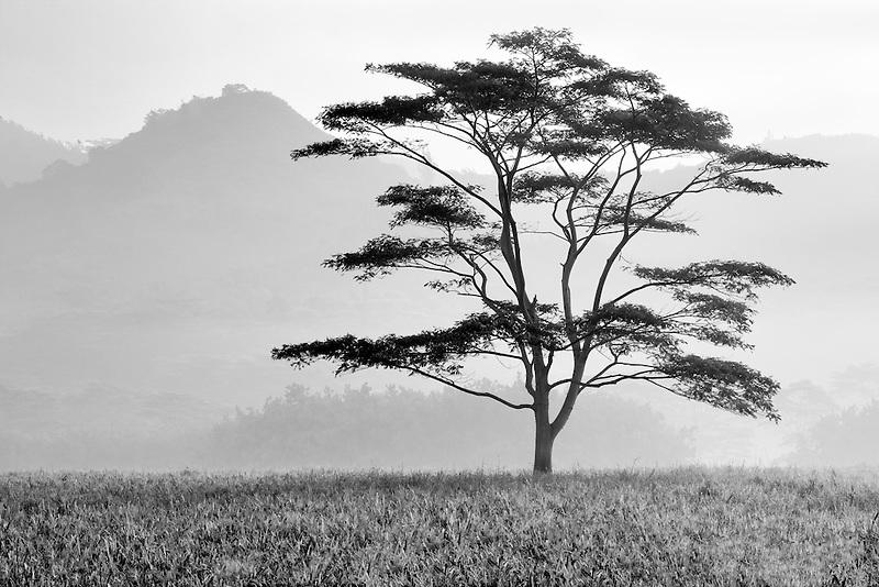 Lone tree in morning fog, Kauai, Hawaii