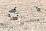 Nebraska Crane Trip, Greater Prairie Chicken