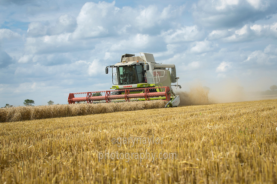 Harvesting winter wheat with a Claas Lexion 550 fitted with GPS bout guidance - August, South Lincolnshire