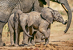 African elephants, Tarangire National Park, Tanzania
