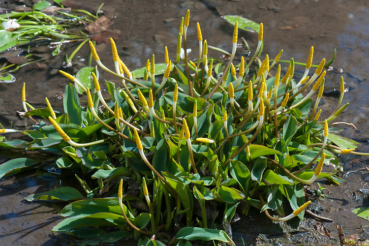Orontium aquaticum, late April. A marginal aquatic perennial with small yellow flowers, also known as Golden club <br /> or Floating arum.