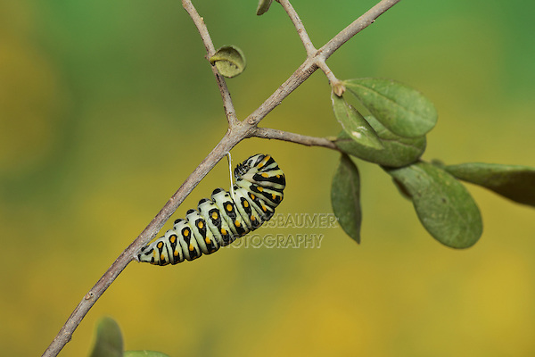 Black Swallowtail (Papilio polyxenes), caterpillar pupating into chrysalis, Hill Country, Texas, USA