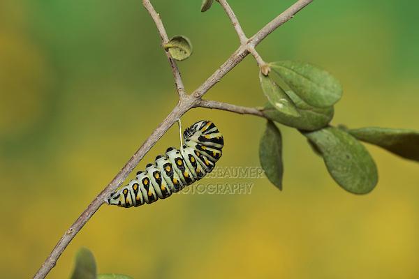 Black Swallowtail (Papilio polyxenes), caterpillar pupating into chrysalis, Hill Country, Texas, USA