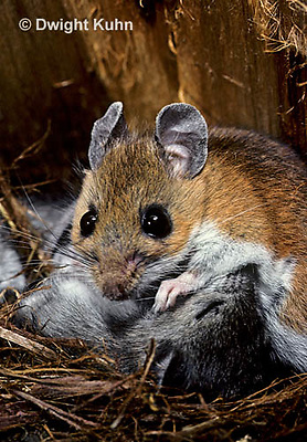 MU16-018z   White-Footed Mouse - cleaning 19 day old young -  Peromyscus leucopus