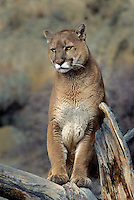 656326415 a captive mountain lion felis concolor watches over his domain from a large tree branch in central montana