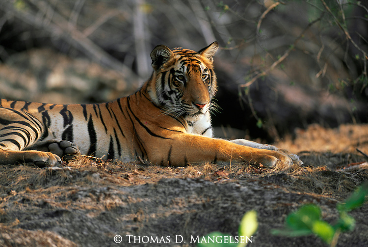 A bengal tiger lays in the shade, remaining alert as he rests in Bandhavgarh National Park, Madhya Pradesh, India.