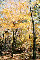 FALL FOLIAGE<br /> Westchester County, NY<br /> In the autumn, trees stop photosynthesis. As the green chlorophyll disappears from the leaves, yellow orange and red become visible.
