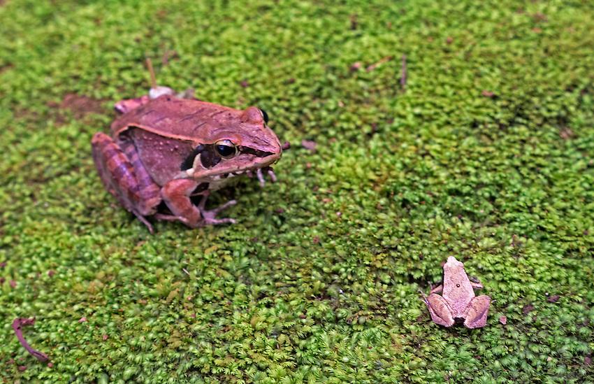 Near Dalat, Vietnam a Frog resting on the green forrest floor.