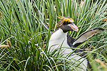 Macaroni Penguin (Eudyptes chrysolophus), Cooper Bay, South Georgia Island, South Atlantic Ocean