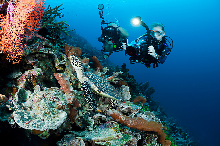 One diver shooting a digital SLR and another diver with a video camera line up on a hawksbill turtle, Eretmochelys imbricata, on an Indonesian reef. The divers are model released.
