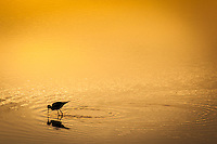 A Black-necked stilt in silhouette, feeding at sunrise in a golden pond.