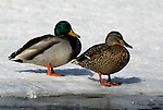 Male & Female Mallard Duck, Anus platyrhynchos, standing on frozen lake, Kussharo-ko, Hokkaido Island, Japan, japanese, Asian, wilderness, wild, untamed, ornithology, snow, aquatic.Japan....