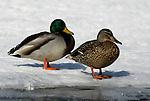 Male & Female Mallard Duck, Anus platyrhynchos, standing on frozen lake, Kussharo-ko, Hokkaido Island, Japan, japanese, Asian, wilderness, wild, untamed, ornithology, snow, aquatic.Japan....