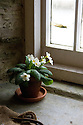 Primrose (Primula vulgaris) on the windowsill of a potting shed, Heligan, Cornwall, mid February.