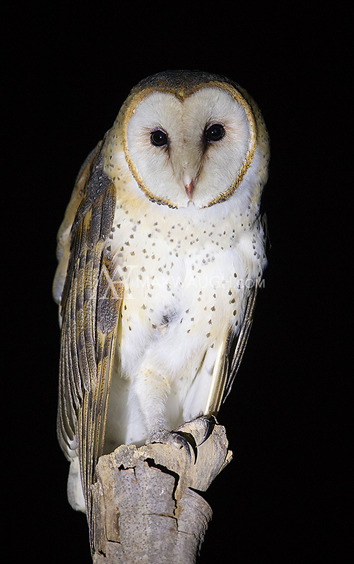 I finally had my first close photo opportunity with a Barn owl during our final night in Emas National Park.