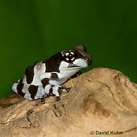 0305-0905  Froglet, Amazon Milk Frog (Marbled Tree Frog), Trachycephalus resinifictrix (formerly: Phrynohyas resinifictrix)  © David Kuhn/Dwight Kuhn Photography