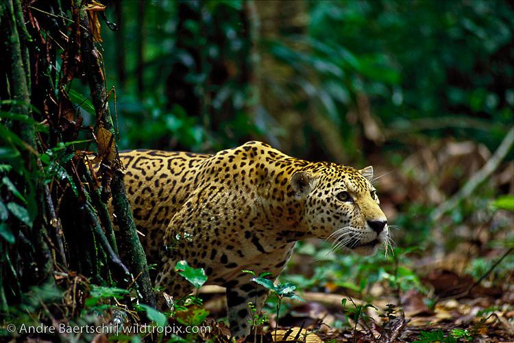 Jaguars in the Wild