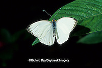 03062-00105 Great Southern White butterfly (Ascia monuste) Butterfly World   FL
