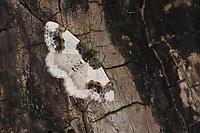 Pfaffenhütchen-Harlekin, Pfaffenhütchenharlekin, Spindelbaumspanner, Spindelbaum-Spanner, Pfaffenspanner, Kleiner Pfaffenhütchenspanner, Ligdia adustata, Geometra adustata, Scorched Carpet, La Phalène du fusain, Spanner, Geometridae, looper, loopers, geometer moths, geometer moth