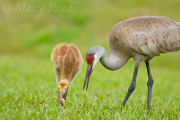Greater Sandhill Cranes (Grus canadensis) (Florida race), adult and chick foraging, chick eating beetle larva, Kissimmee, Florida, USA