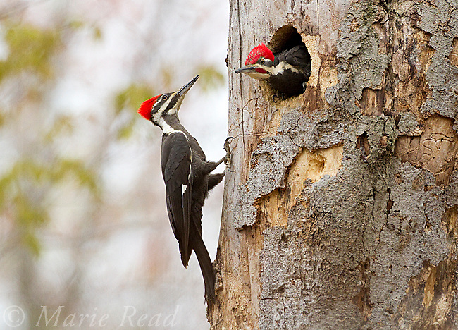 Pileated Woodpeckers (Dryocopus pileatus), pair during incubation exchange, female clinging to treetrunk as male comes out of nest hole entrance, New York, USA