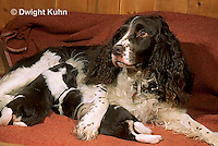 SH20-011z  Dog - nursing English Springer puppies just born, 8 hours old