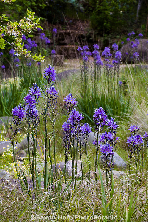 Blue flowering California native bulb wildflower Camas Lily ( Camassia quamash) in drought tolerant, spring meadow garden