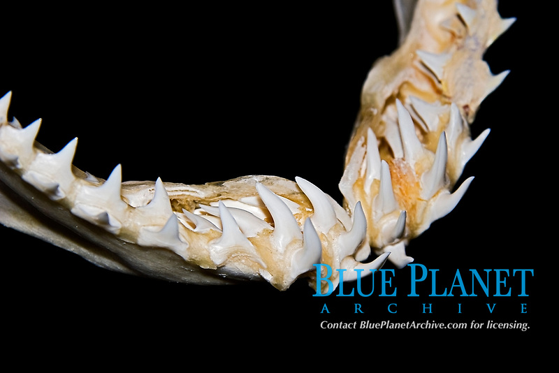 lower jaw of shortfin mako shark, Isurus oxyrinchus, showing rows of teeth - daggerlike teeth grasp and hold fast-swimming prey such as fish and sqid prior to swallowing, differences in shark tooth size and shape reflect what and how they prey on, Hawaii