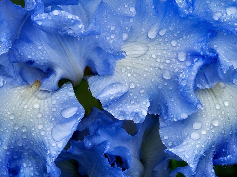 Close up of Joyful Skies Iris. Schrieners Iris Gardens. Oregon