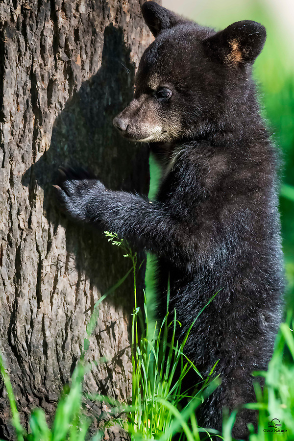 Tiny Black Bear (Ursus americanus) spring cub pauses from chasing its sibling, to admire and even reach out and touch its shadow.