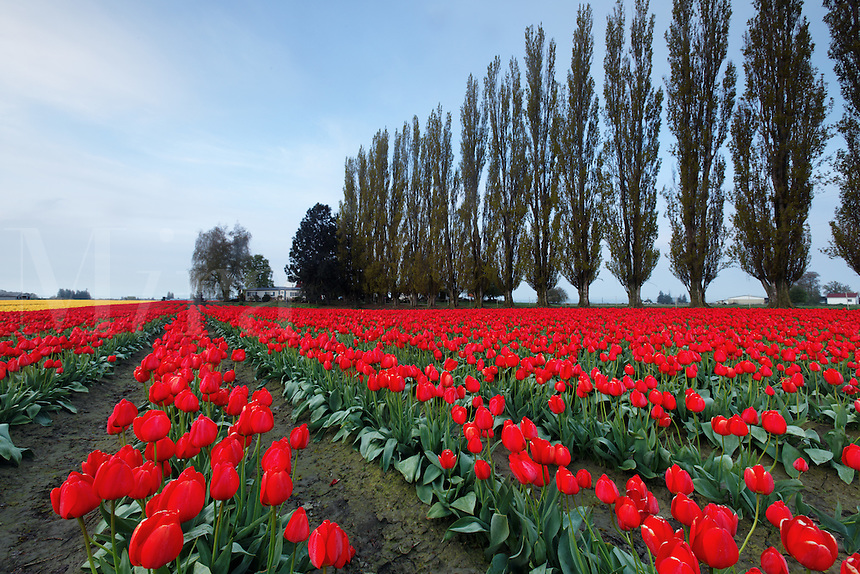 Rows of red tulips, Skagit Valley, Washington, USA