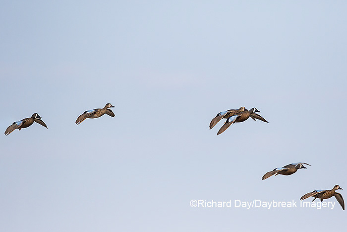 00722-02820 Blue-winged Teal (Anas discors) in flight, Marion Co., IL