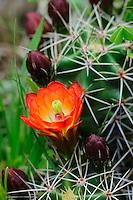 Claret Cup Cactus Flower, Georgetown, TX