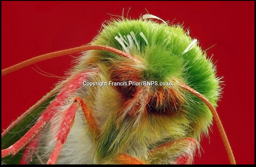 BNPS.co.uk (01202) 558833<br /> Picture: Francis Prior<br /> <br /> Moth<br /> <br /> Young photographer Francis Prior has found photographic success using the most unlikely of models - dead bugs he found in his parents' house. The 19-year-old amateur photographer uses a macro lens to capture the smallest of details invisible to the human eye. After rounding up dead spiders, flies and beetles from every corner of his parents' home in Halewood, Liverpool, Francis sets them up in his insect studio. The incredible images can feature up to 100 shots layered on top of one another - and each one takes up to six hours to produce.