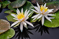 Water Lily - (Arc-en-ciel). Hughes Water Gardens. Oregon