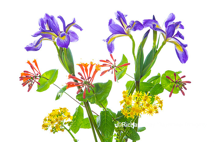 30099-00801 Blue Flag Iris, Dropmore Scarlet Honeysuckle & Butterweed (high key white background) Marion Co. IL