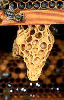Honigbiene, Weiselzelle, Honig-Biene, Biene, Bienen, Honigbienen, Apis mellifera, Apis mellifica, honey bee, hive bee, bees