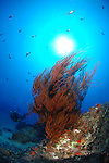Black coral and diver at the 110 foot pinnacle.Maui Hawaii.