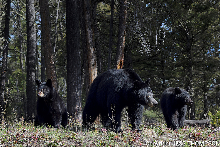 Black Bear and Cubs, Yellowstone