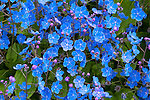 Vashon Island, Washington<br /> Mass of Omphalodes cappadocica blossoms  - commonly known as navelwort