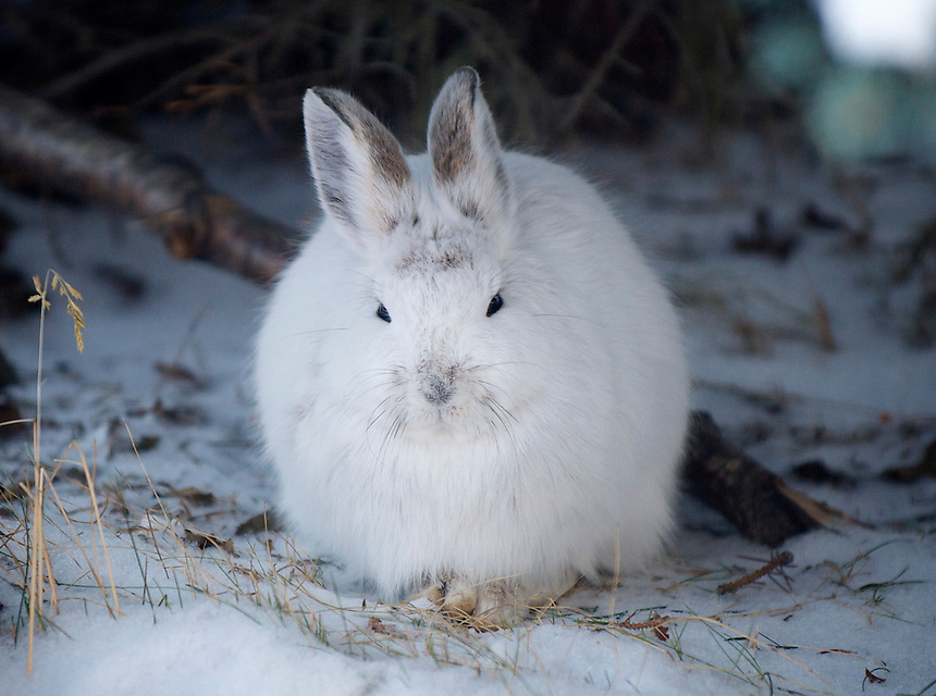 December 23, 2010, Snowshoe Hare (Lepus americanus) in white winter morph, Anchorage, Alaska, United States.