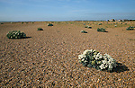 Crambe maritima or sea kale growing on shingle, Shingle Street, Suffolk, England