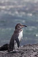 Galapagos penguin, Punto Espanosa, Fernandina Island, Galapagos Islands, Ecuador