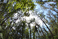 Cypress trees photographed using a fisheye lens. Photographed in the Arthur Marshall Loxahatchee preserve Cypress Swamp.