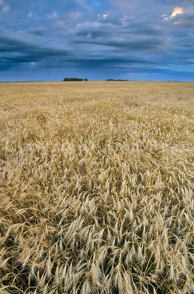 Field of wheat ready for harvest, near Casselton, North Dakota, AGPix_0076.
