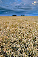 Field of wheat ready for harvest, near Casselton, North Dakota, AGPix_0076.
