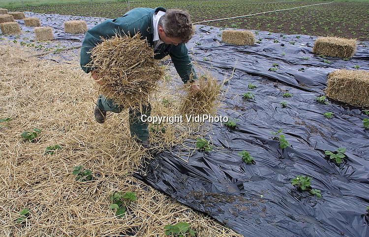 Foto: VidiPhoto..OCHTEN - Aardbeienteler Van Dam uit Opheusden strooit op een van zijn aardbeienvelden bij Ochten vers stro uit Duitsland. Onder het stro ligt plastic, dat de groei van onkruid tussen de aardbeien voorkomt. Het stro is tegen vruchtrot. Hij haalt het materiaal uit Duitsland, omdat de kwaliteit van het stro daar beter is. Telers verwachten een goed aardbeienjaar.