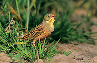 Ortolan, singendes Männchen, Gartenammer, Emberiza hortulana, ortolan bunting