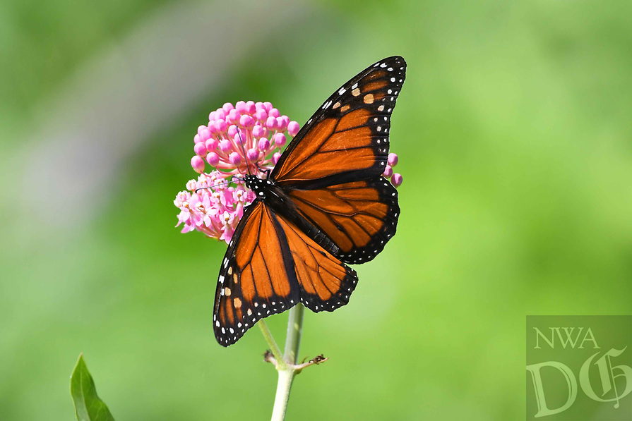 Courtesy photo/TERRY STANFILL<br />MONARCH MARCH<br />A monarch butterfly is seen recently along the Eagle Watch Nature Trail near Gentry. Monarch butterflies are currently migrating south.